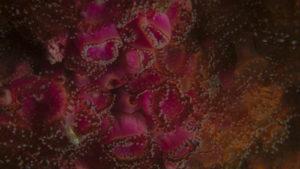 Corynactis viridis - Anémone Bijou