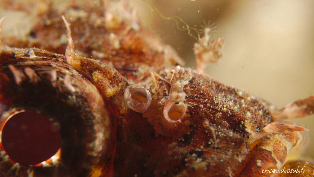 Détails des lambeaux de peau d'une rascasse