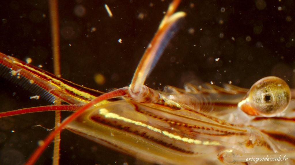 Une crevette de très très près